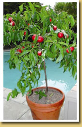 care of fruit trees in containers