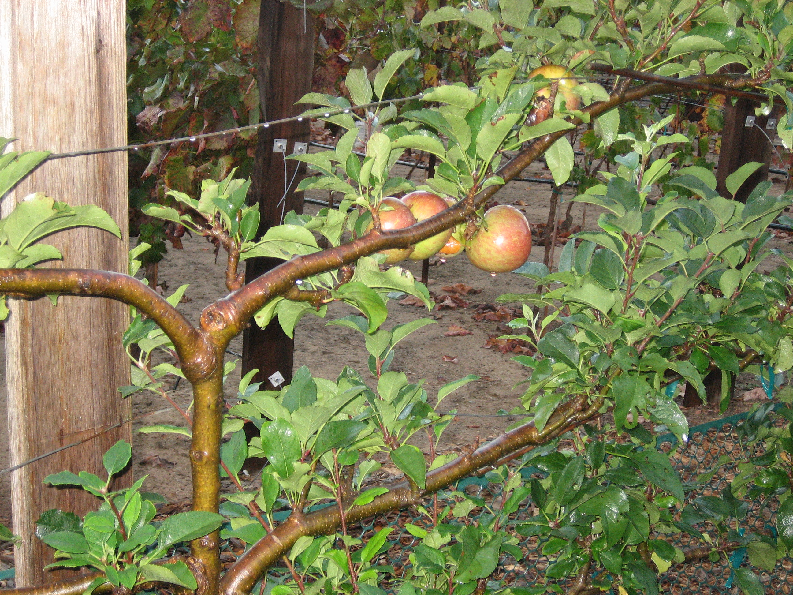 Growing Fruit Trees Retreat To The Mountains