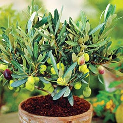 100 fruiting olive trees olive wikipedia